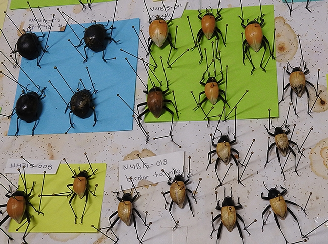 Iris Bright's projects included these pinned  Onymacris (tenebrionid beetles from Namibia). (Photo by Kathy Keatley Garvey)