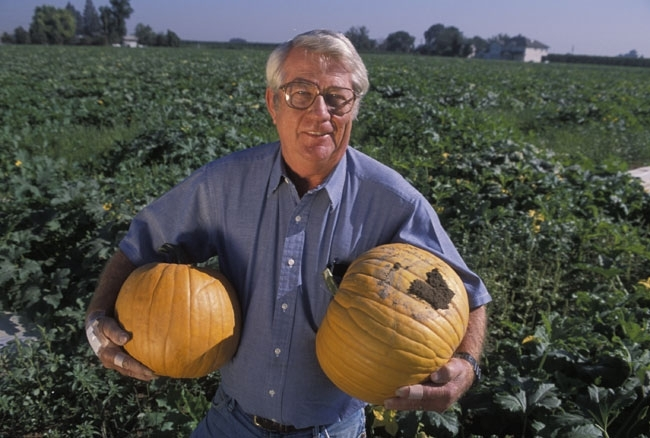 Charlie Summers recommended that pumpkins be grown over reflective mulch.  (UC ANR Photo)