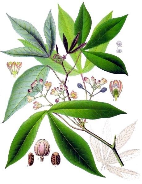 The is the cassava plant, a staple of 200 million Africans. Hans Herren won the 1995 World Food Frize for his work in saving the cassava crop from the mealybug in Africa, thus averting a worst-ever food crisis. (Wikipedia graphic)