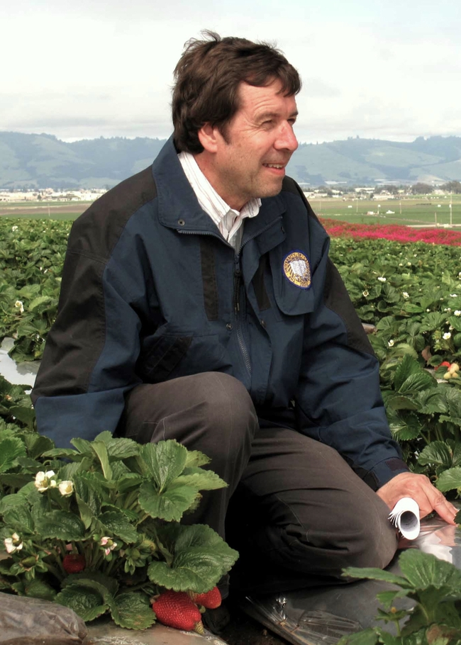 Integrated pest management specialist Frank Zalom in a strawberry field. (Photo by John Stumbos)