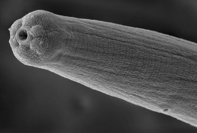 This is a scanning electron micrograph of a Steinernema carpocapsae nematode; this is what they look like when they are spitting venom into their host. (Image by Adler Dillman)
