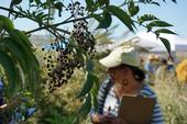 The last of this season's elderberries were hanging on the plants during the Elderberry Field Day Sept. 17.