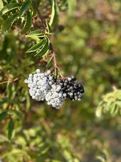 A cluster of elderberries ready for harvest. The white