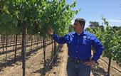 """Labor costs about 7 cents per vine for managing the """"touchless"""" vineyard, compared to $1 in the conventional vineyard, says Kaan Kurtural, UC Cooperative Extension specialist."""
