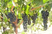 Camminare noir has characteristics of cabernet sauvignon and petite sirah.
