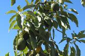"Avocados hang on a tree at UC South Coast Research & Extension Center. ""Consumers seeking the health benefits of avocado oil deserve to get what they think they are buying,"" says Selina Wang."