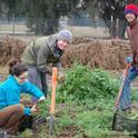 Sara Kosoff, Anthoy Waldrop and Eric Lynn harvest carrots at the UC Davis Student Farm.