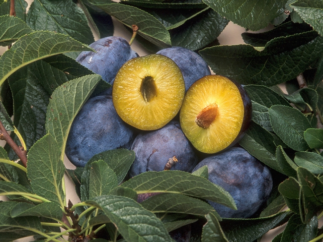 Consumer concerns about GE fruit are a factor discouraging commercialization. Plums shown are engineered to resist plum pox virus; they have received regulatory approval, but have not come to market.