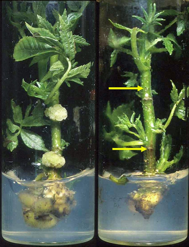 Wild-type (left) and GE (right) walnut microshoots, after inoculation with crown gall-inducing virus. The wild-type shows tumor growth; the GE microshoot on the right does not. Transgrafting allows disease resistance to protect the plant while maintaining non-GE nuts.