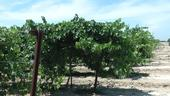 Winegrapes growing at the UC Kearney Agricultural Research and Extension Center.