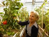 Ann Powell inspects tomatoes in UC Davis greenhouse.