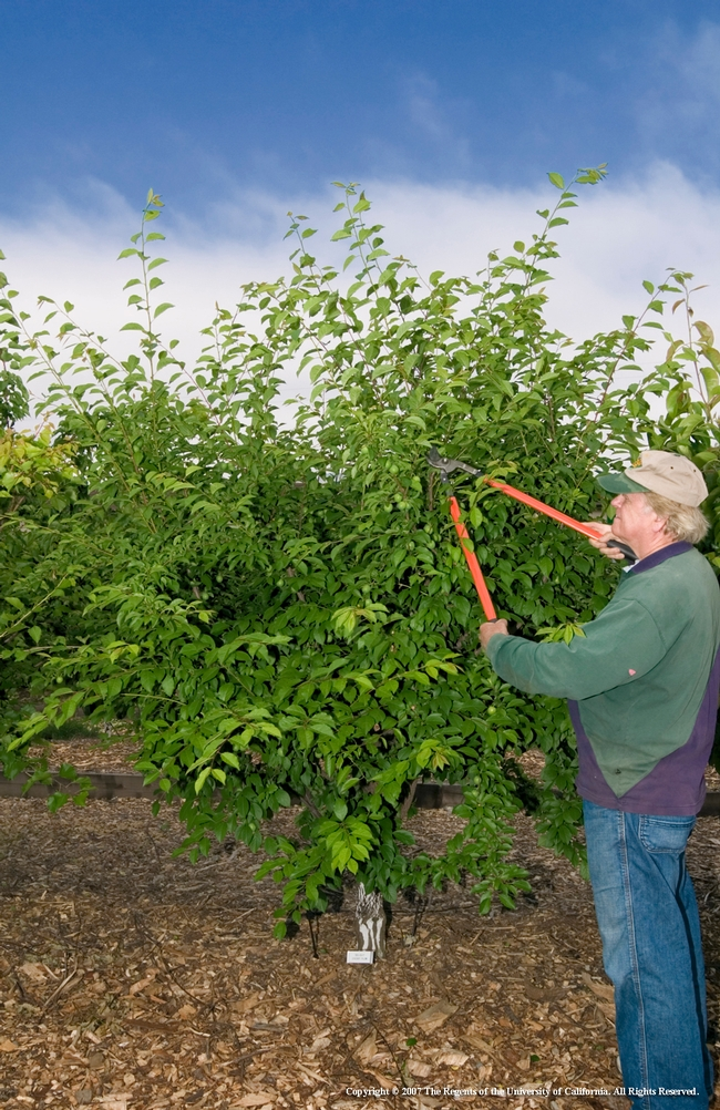 Phil Damewood, a former Sacramento County Master Gardener, prunes a fruit bush.