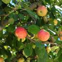 Gravenstein apples hang from a tree in Sonoma County. (Photo by Kathy Keatley Garvey)