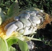 Corn with huitlacoche growing on the kernals.