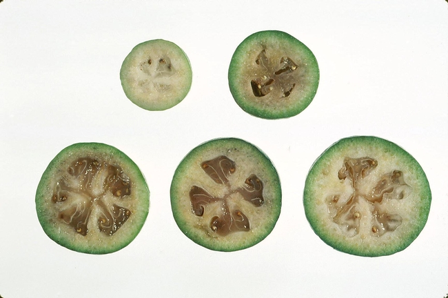 Feijoa fruit developmental stages (CS)