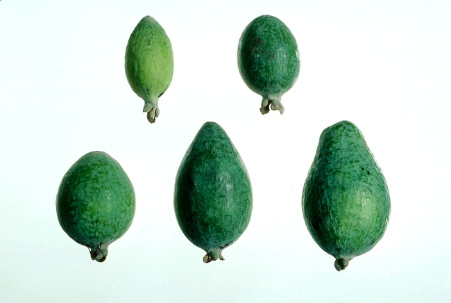 Feijoa fruit developmental stages