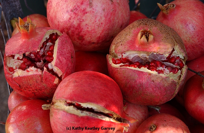 California is the sole producer of 99 percent of the pomegranates grown in the United States. (Photo by Kathy Keatley Garvey)