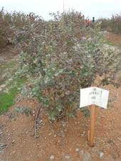 A berry bush that is receiving 50 percent of reference evapotransporation.