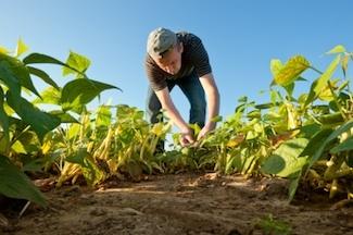 main planting beans