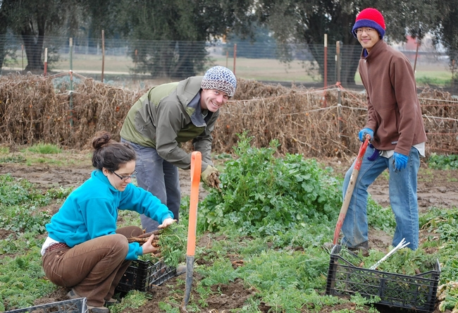 Harvest day for Sara Kosoff, Anthony Waldrop and Eric Lynn at UC Davis Student Farm