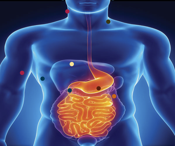 Obesity research plotted onto an illustration of the human digestive system
