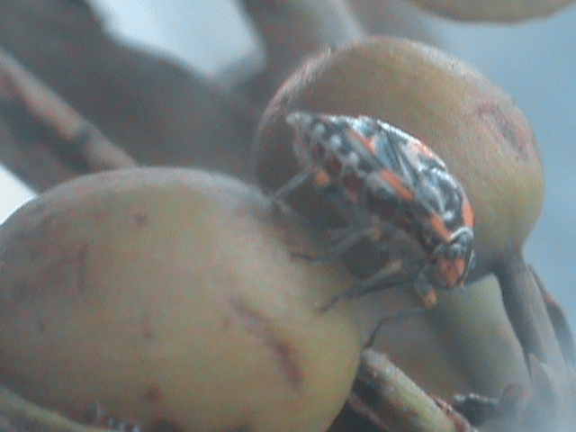 Photo shows an antestia bug on a coffee bean.
