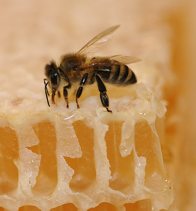 Bee on honeycomb (Photo: Kathy Keatley Garvey)