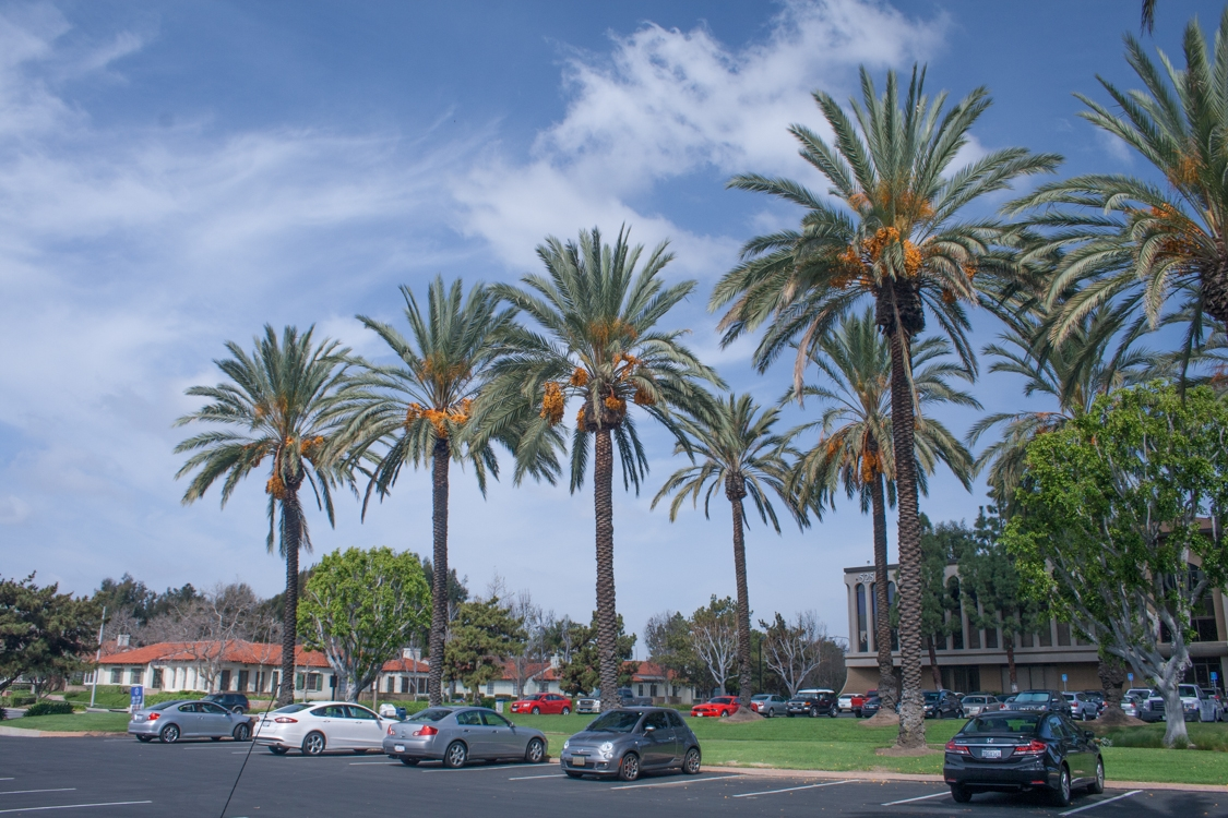 Tens Of Thousands Large Date Palm Trees Phoenix Dactylifera The Edible