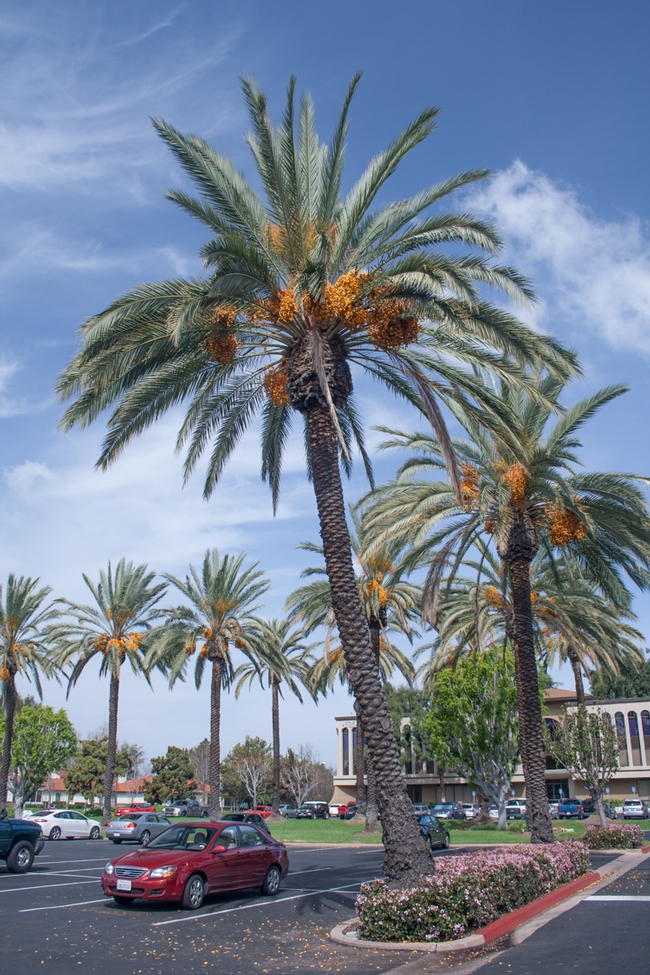 Palm trees produce abundant date fruits that fall into the landscape and become a nuisance. (D. R. Hodel).