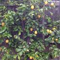 The author's backyard lemon tree trained in espalier style.
