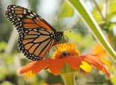Monarch butterfly and honey bee on Mexican sunflower (Tithonia) by Kathy Keatley Garvey