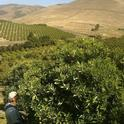 Man picking in San Luis Obispo County orchard.