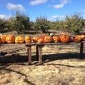Jack-o-Lanterns on the farm.