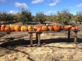 Jack-o-Lanterns on the farm.