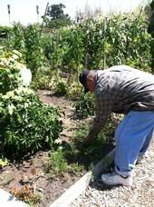 A Santa Clara County resident works in a community garden.