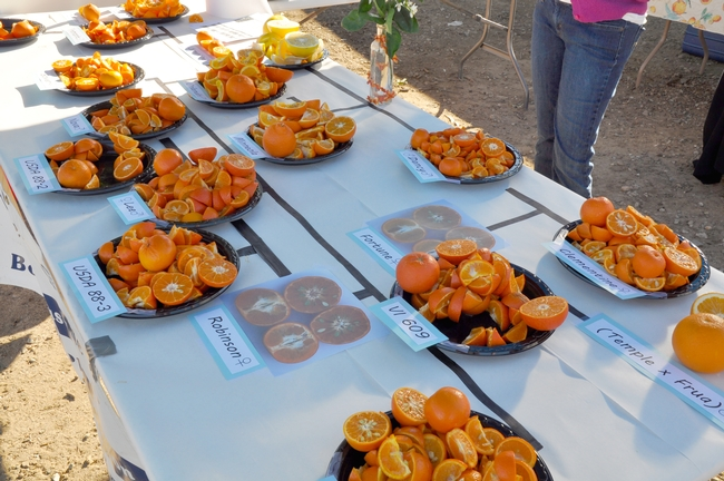 A selection of citrus varieties available for tasting at a past Citrus Day.