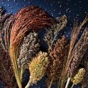 A rainbow of sorghum varieties. (Photo: Roy Kaltschmidt)
