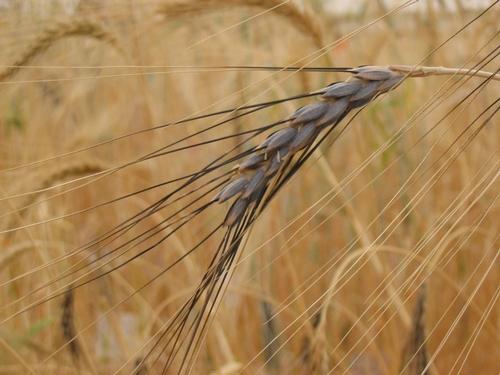 Wild wheat, Triticum turgidum ssp. dicoccoides