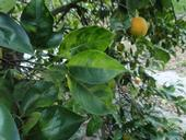 Leaves on a Florida tree show symptoms of HLB disease. The new biosafety lab at UC Riverside will help scientists battle the disease. (Photo: Beth Grafton-Cardwell)