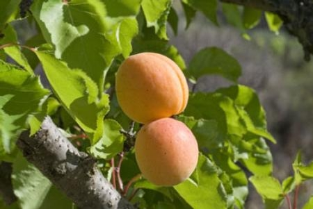 Fotolia apricot400