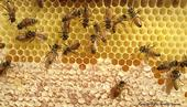 Honey bees in the process of making honey. This photo was taken through a bee observation hive. (Photo by Kathy Keatley Garvey)