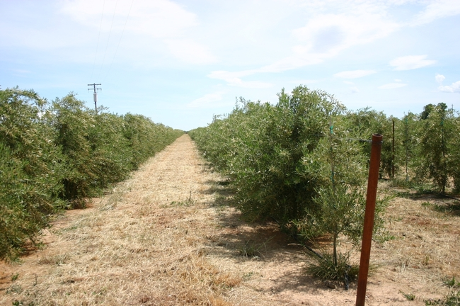 Super-high-density olives planted in hedgerows for mechanical management.