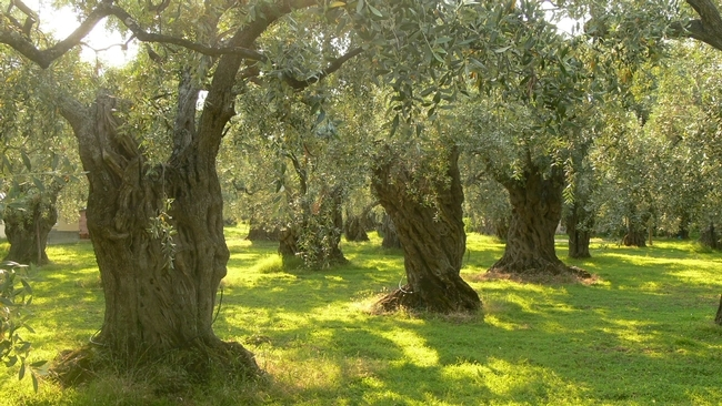 An old-school olive orchard.