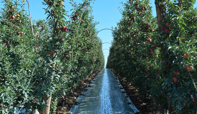 Rows of apples in Yakima WA apple orchard