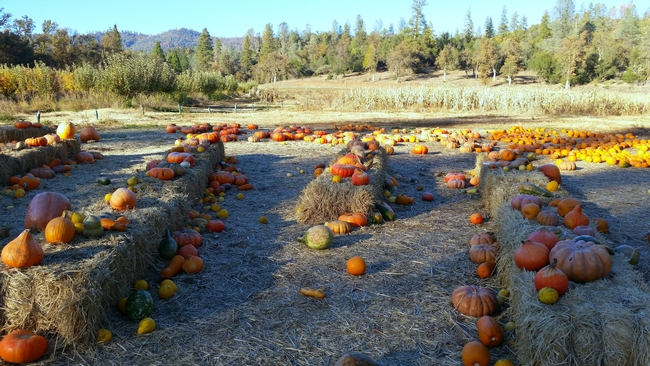 Pumpkins come in many shapes, sizes, and colors and are used to decorate or consume. (Photo: Katelyn Ogburn)