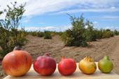 Different varieties of pomegranates vary in sweetness, seed hardness and color.