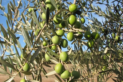 'Manzanillo' olives