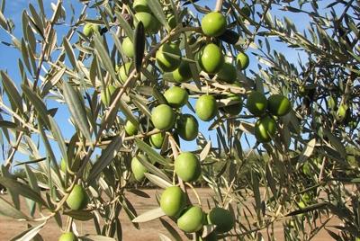 'Manzanillo' olives