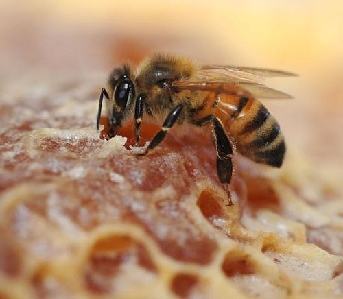HONEY BEE (Apis mellifera) sipping honey. (Photo by Kathy Keatley Garvey)