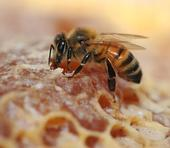HONEY BEE (Apis mellifera) sipping honey. (Photo by Kathy Keatley Garvey)
